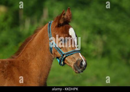 Arabische Fohlen mit Stallhalfter - Stockfoto