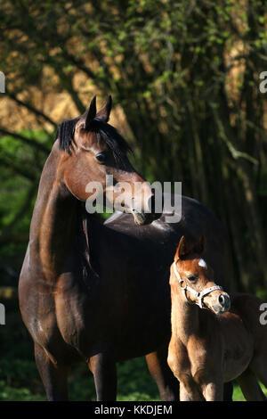 Arabische Stute und Fohlen mit Kopf Kragen - Stockfoto