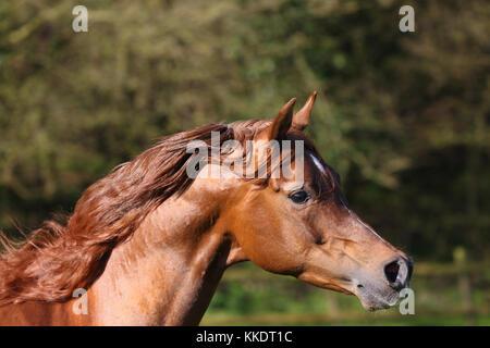 Chestnut arabischen Headshot - Stockfoto