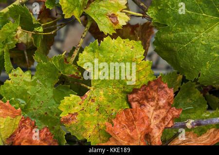 Weinblätter mit Tropfen regen Wasser. - Stockfoto