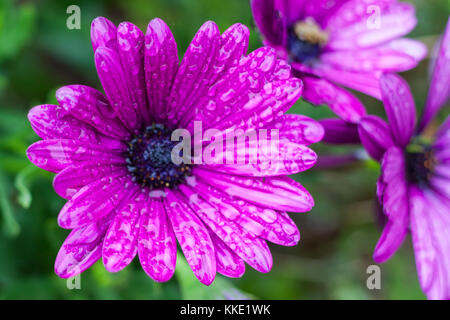 Close-up lila Osteospermum, oder African Daisy, Blumen nach dem Regen - Stockfoto
