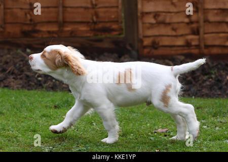 Clumber spaniel clumber Spaniel - Welpen - Stockfoto