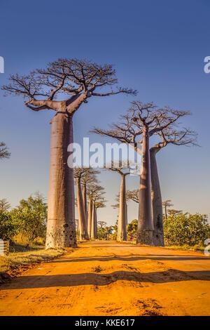Allee der Baobabs, Madagaskar - Stockfoto