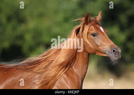 Chestnut arabischen Mare Headshot - Stockfoto