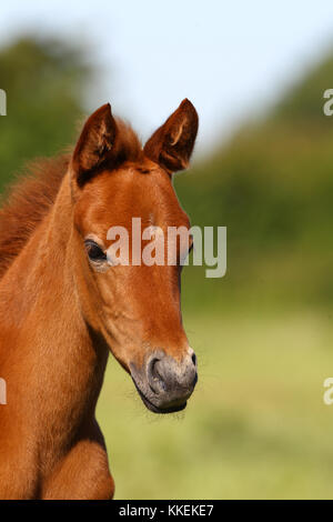 Chestnut Racing arabischen Fohlen Headshot - Stockfoto