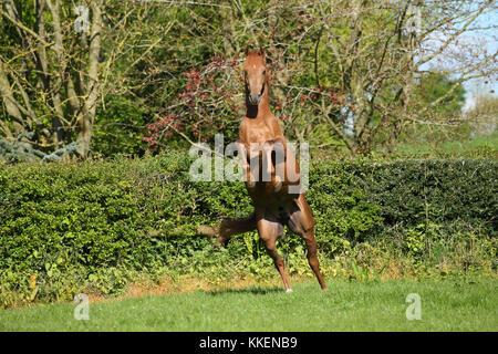 Chestnut arabischen Hengst Aufzucht - Stockfoto