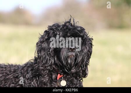 Wasser Hund - Portugiesisch Portugiesische Wasserhund Cao de Agua - Stockfoto