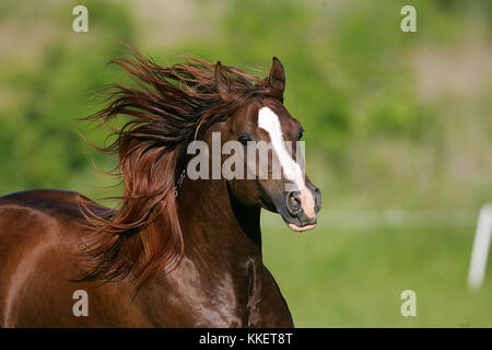 Chestnut arabischen headshot - Stockfoto