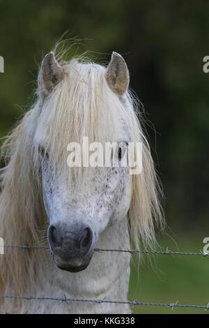 Welsh Pony - Stockfoto