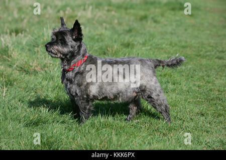 - Cairn Terrier Cairn Terrier kurzhaarige Skye - Stockfoto