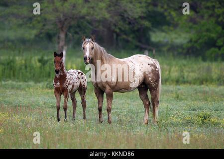 Appaloosa Stute und Fohlen - Stockfoto