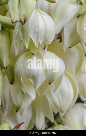 Weiß Yucca filamentosa Bush Blumen, andere Namen sind Adams Nadel ...