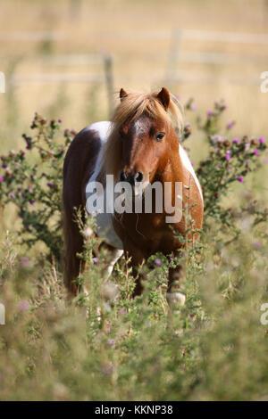 Shetland Hengst - Stockfoto