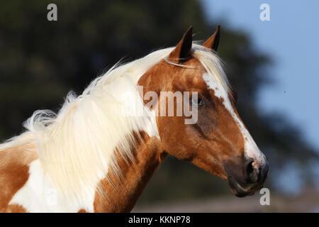 Paint Horse Headshot - Stockfoto