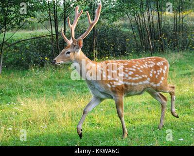 Whitetail deer standing im Sommer Holz - Stockfoto