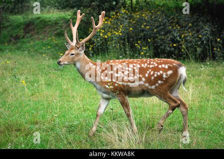 Hirsch auf dem Hintergrund der wilden Natur. - Stockfoto
