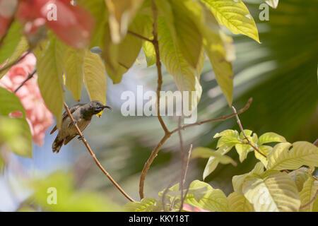 Kolibri - Seychellen - Afrika - Stockfoto