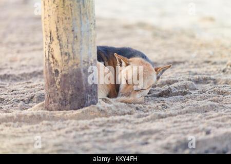 Schlafende Hund am Strand, Sri Lanka, Asien - Stockfoto