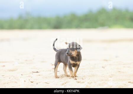 Hund am Strand von Kalpitiya, Sri Lanka, Asien - Stockfoto