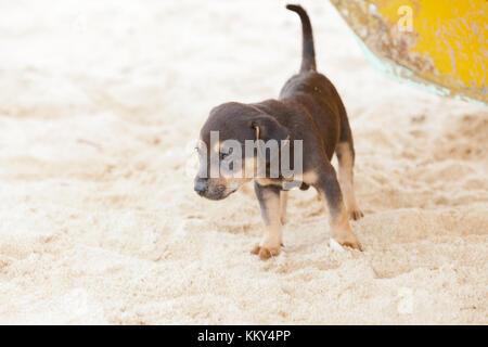 Hund - Welpen die Erforschung der Welt, Sri Lanka, Asien - Stockfoto