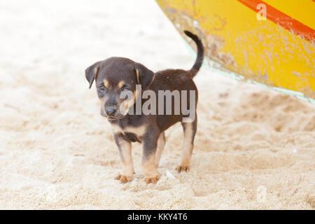 Hund - Welpen für Mama warten, Sri Lanka, Asien - Stockfoto