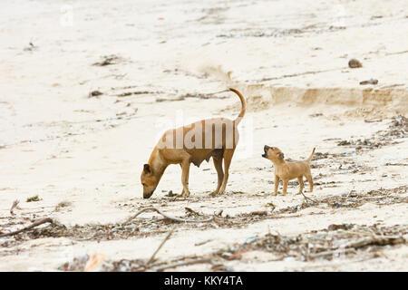 Hungrig Hund-welpe Futtersuche, Sri Lanka, Asien - Stockfoto
