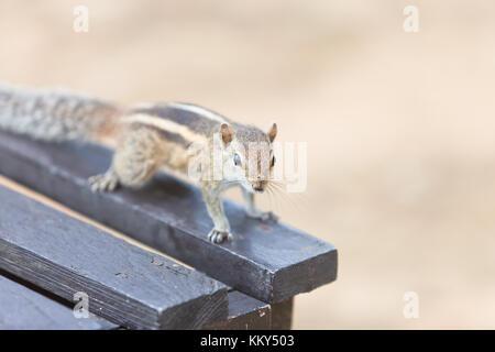 Vertrauensvoll Eichhörnchen, Ahungalla, Sri Lanka, Asien - Stockfoto