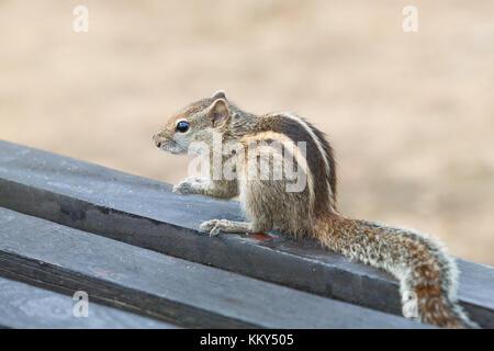 Aufmerksame Eichhörnchen, Ahungalla, Sri Lanka, Asien - Stockfoto