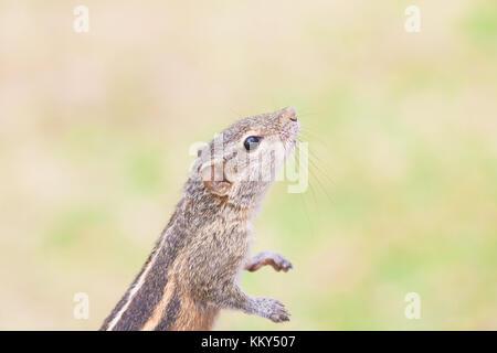 Sniffing Eichhörnchen, Ahungalla, Sri Lanka, Asien - Stockfoto