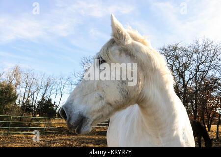 Weißes Pferd mit seinen Kopf zur Seite, Weide mit Dark Horse und Bäume im Hintergrund an den goldenen Stunde - Stockfoto
