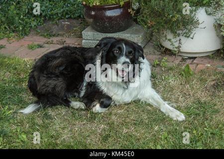 Einen Hund (Border Collie) liegt auf der Gras in einen Garten im Innenhof, den Mund offen und Vorderbein ausgestreckt, - Stockfoto