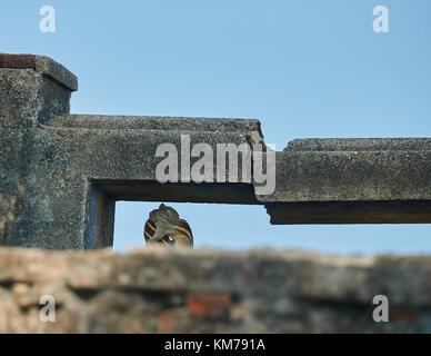 Paarung von natürlichen Eichhörnchen, natürliche Paarung Eichhörnchen - Stockfoto