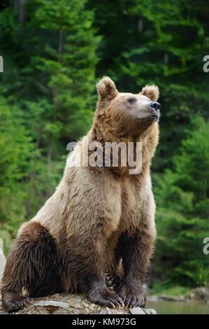 Große Braunbär (Ursus arctos) in der Umwelt - Stockfoto