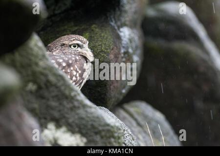 Kleine Eule (Captive) Verstecken von der Regen, Stockfoto