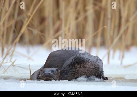 Wild Fischotter (Lutra lutra), Europa - Stockfoto