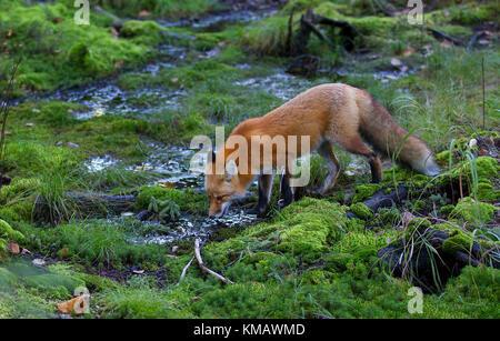 Red Fox (Vulpes vulpes) Trinkwasser in Algonquin Park im Herbst in Kanada - Stockfoto