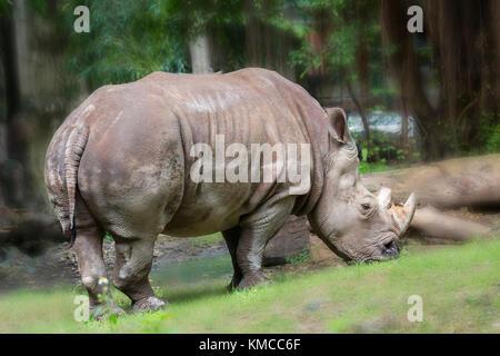 Nashorn im Zoo, das ist eine ausgestorbene Tier in der Natur noch erhalten heute. - Stockfoto