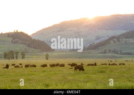Eine Herde Bisons Weiden bei Sonnenuntergang vor der sanften Hügel der Lamar Tal im Yellowstone National Park 23. - Stockfoto