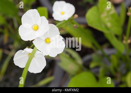 1001 Jasmin, Japanische Pfeilspitze, doppelte Blüte Pfeilspitze, Jasmin Blume - Stockfoto