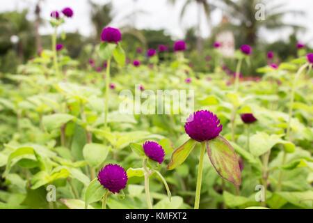 Die purpurrote Blume im Garten für den Hintergrund. - Stockfoto