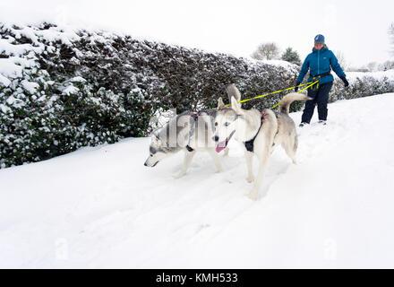 Zwei husky Hunde an der Leine ziehen ihre weiblichen Besitzer entlang einem schneebedeckten Weg in ländlichen Flintshire - Stockfoto