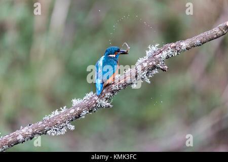 Eisvogel (Alcedo atthis) auf einem Zweig mit einem Fisch Sprühwasser - Stockfoto