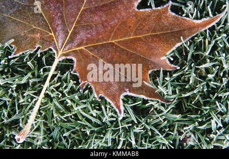 Maple Leaf umrandet mit Rauhreif auf gefrorenem Glas, Whitman Mission National Historic Site. Walla Walla County, - Stockfoto