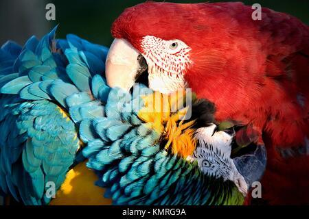 Rot-Grün, geflügelten Ara und blau und Gold Ara spielen mit Liebe Biss - Stockfoto