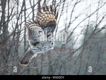 Bartkauz swooping mit den Bäumen im Hintergrund, während Sie im Winter in Finnland - Stockfoto