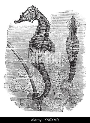 Hippocampus Hippocampus oder kurze - Syngnathus snouted Seahorse, Vintage eingraviertem Muster Seahorse Trousset - Stockfoto