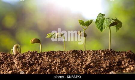 Die gekeimten Samen Sequenz und das Wachstum der Bohne Pflanzen. - Stockfoto