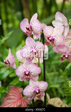 schöne tropische weiße rosa Blume benannt Phalaenopsis, auch bekannt ...