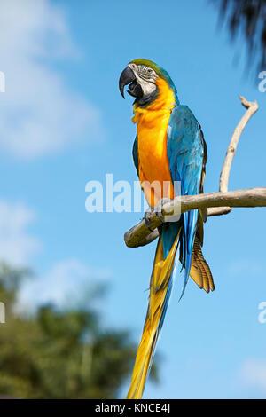 Die blau-gelbe Ara (Ara ararauna), auch in Blau und Gold Macaw bekannt. Bali Bird Park, Batubulan, Gianyar Regency, - Stockfoto