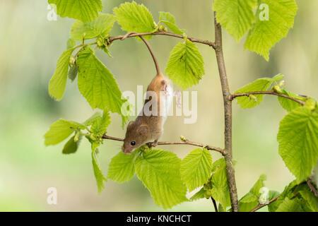 Ernte Maus; Micromys minutus Single auf Hazel gefangen; UK - Stockfoto